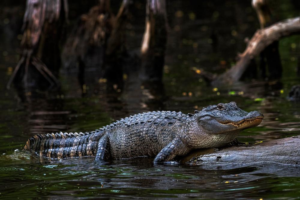 Sunning Alligator
