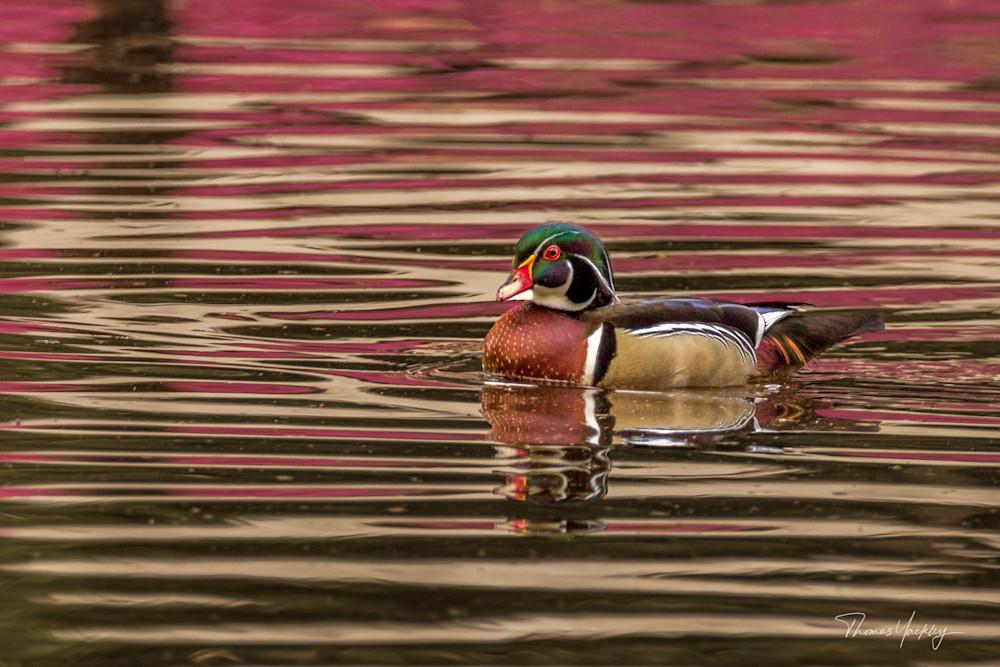 Wood Duck In Azalea Reflection Photography Art   Thomas Yackley Fine Art Photography