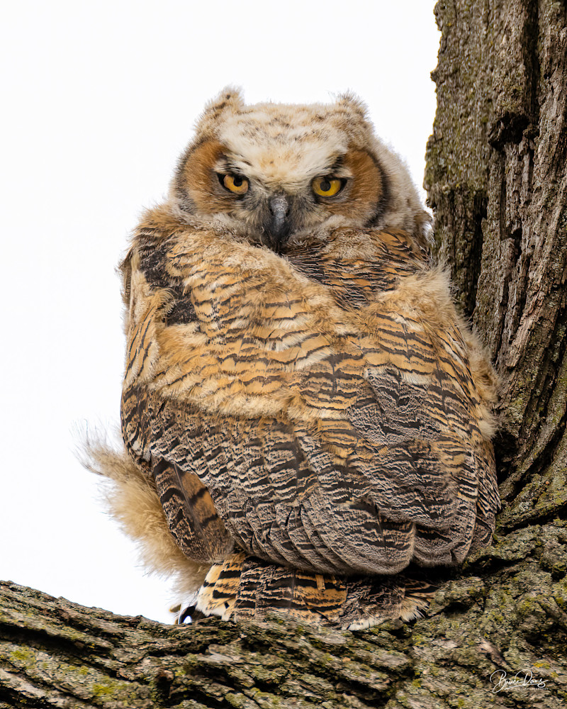 Great Horned Owlet Branching Out