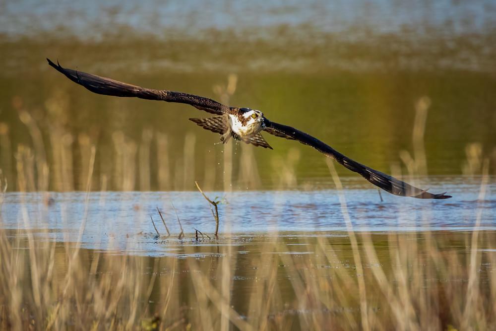 Osprey Misses its Target