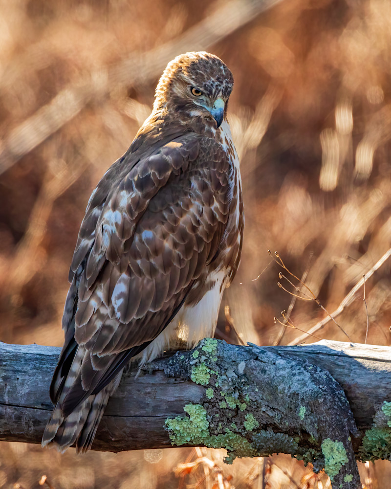 Juvenile Red Tailed Hawk 2 Photography Art | Charles Schmidt Photography, LLC