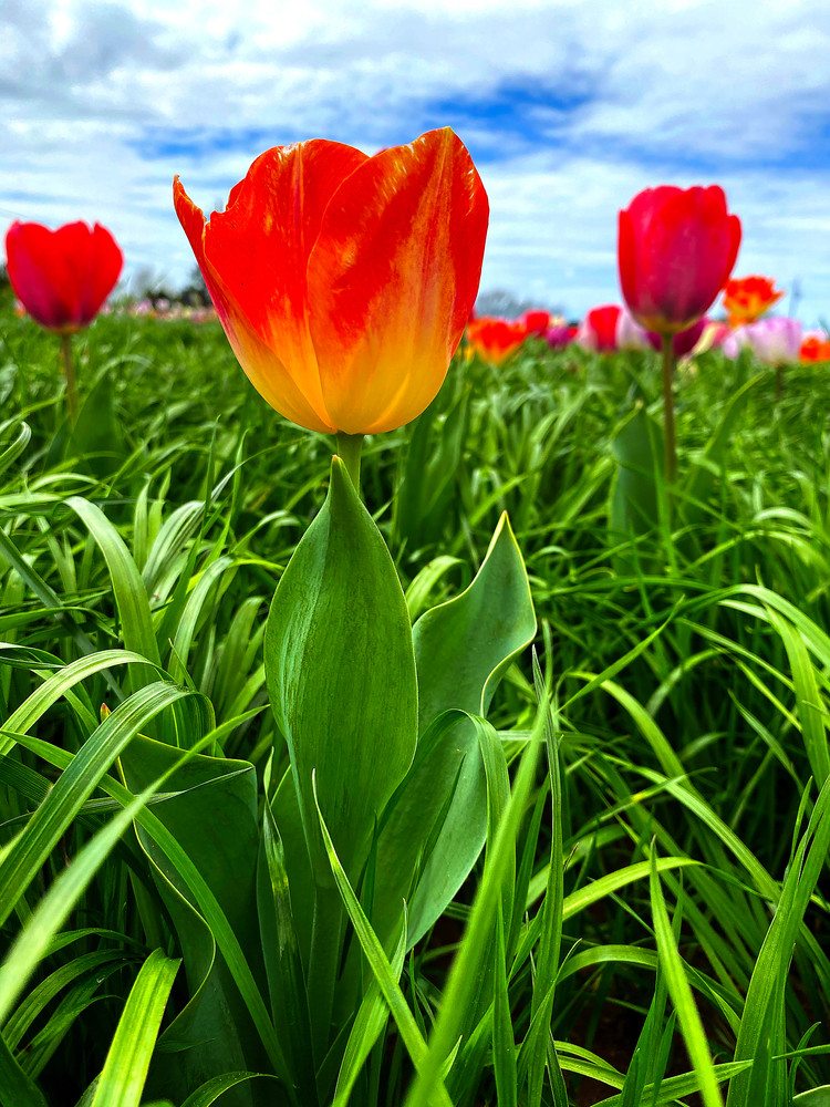 Red tulips in a field under beautiful skies.