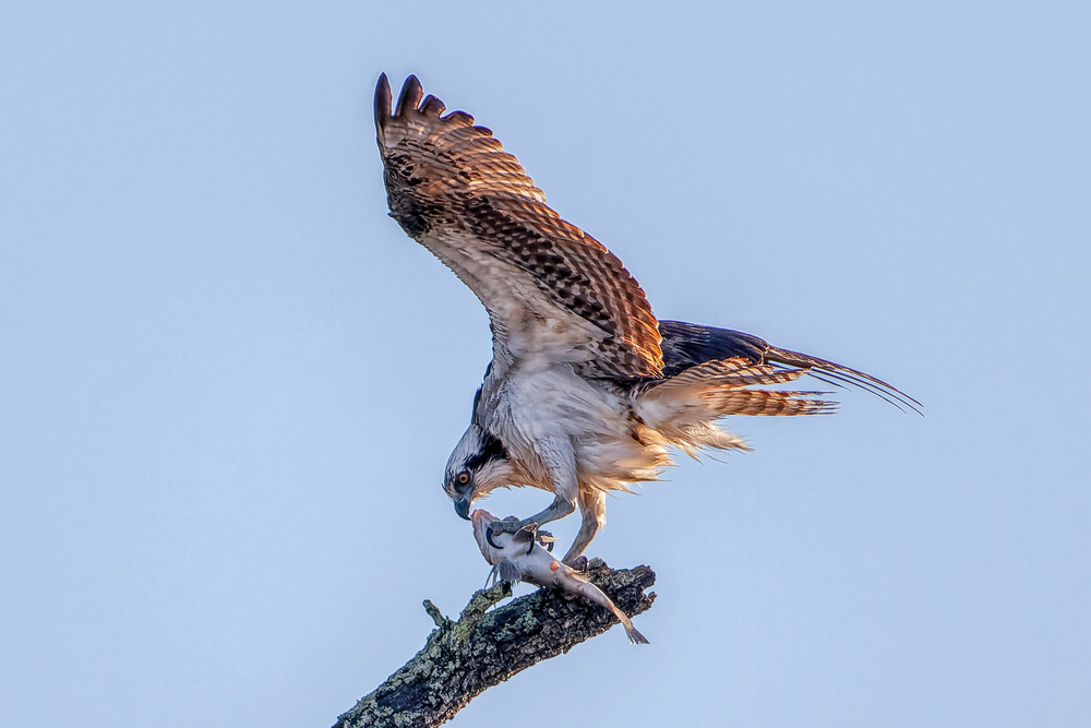 The Fish Hawk