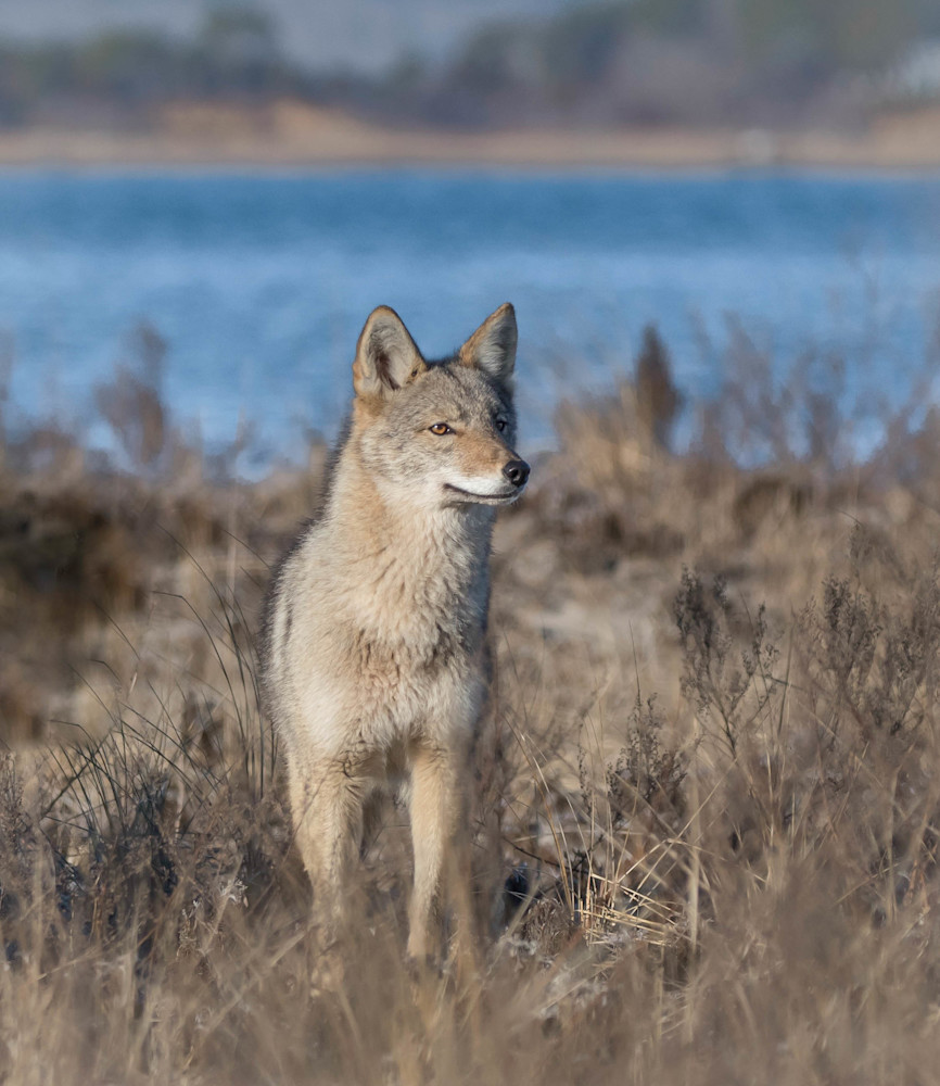 Coyote On The Lookout Art | Sarah E. Devlin Photography