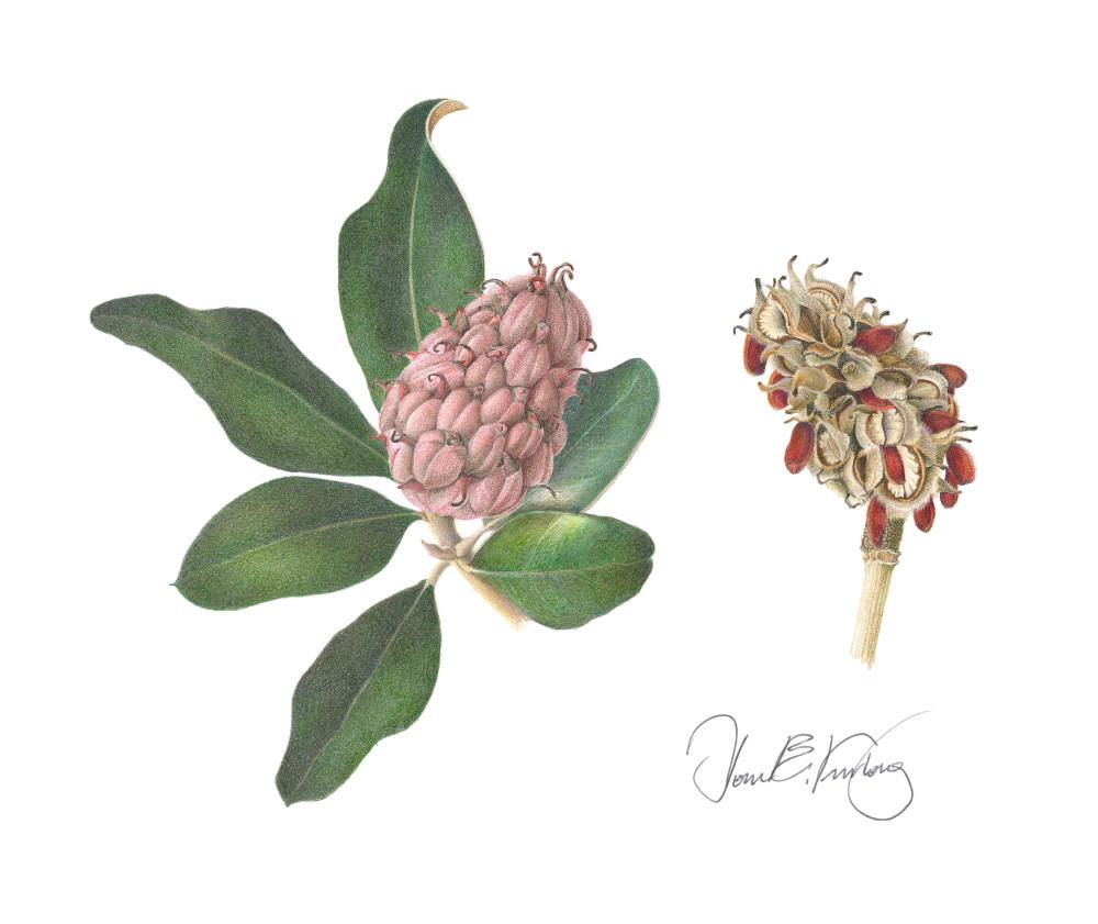 Southern Magnolia Seed Pods Art | Joan Furlong | Vox Loci Studio