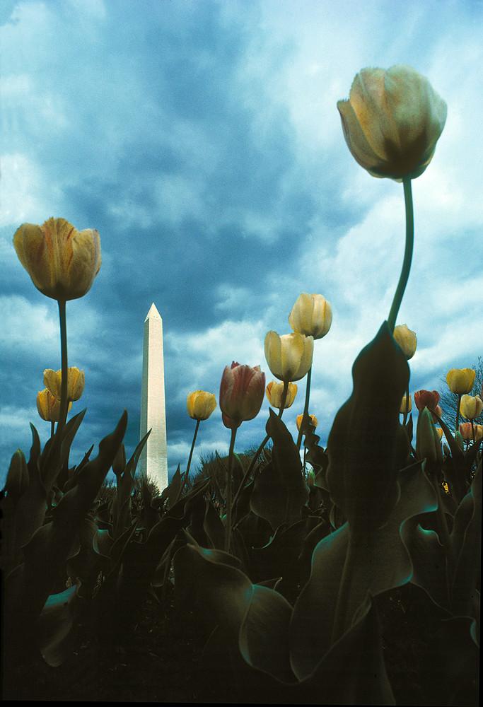 Monumential Tulips Art | Frasier Photography