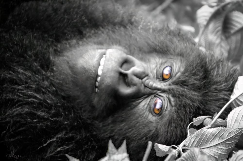Female Gorilla (Rwanda), 2013 by artist Carolyn A. Beegan