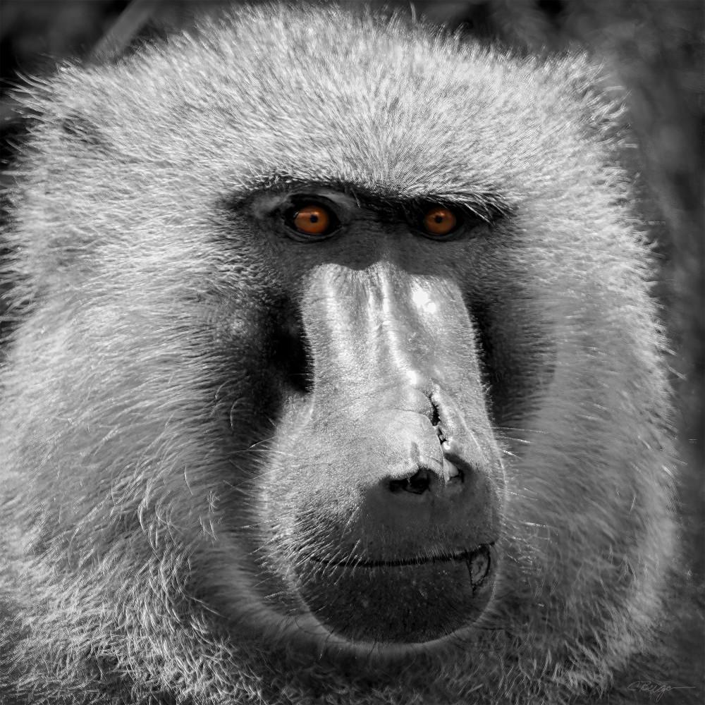 Baboon No. 1 (South Africa), 2014 by artist Carolyn A. Beegan