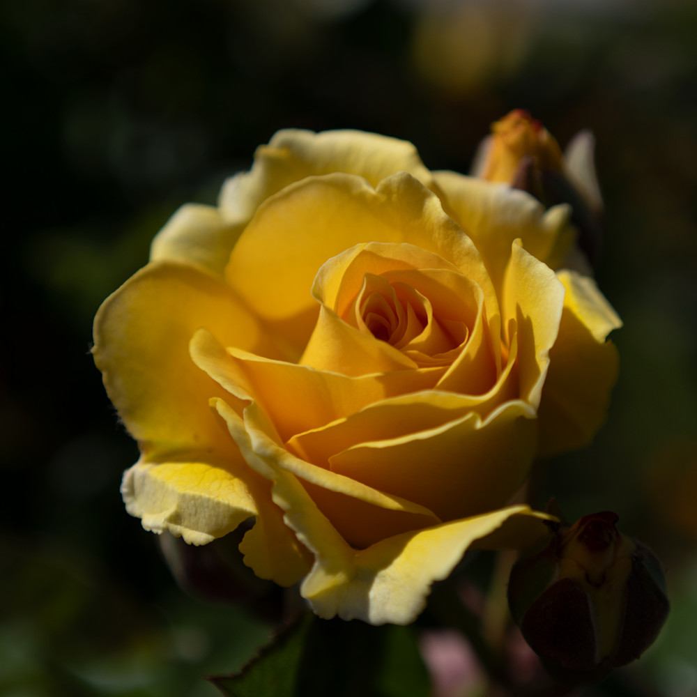 Yellow Rose Photography Art   FocusPro Services, Inc.