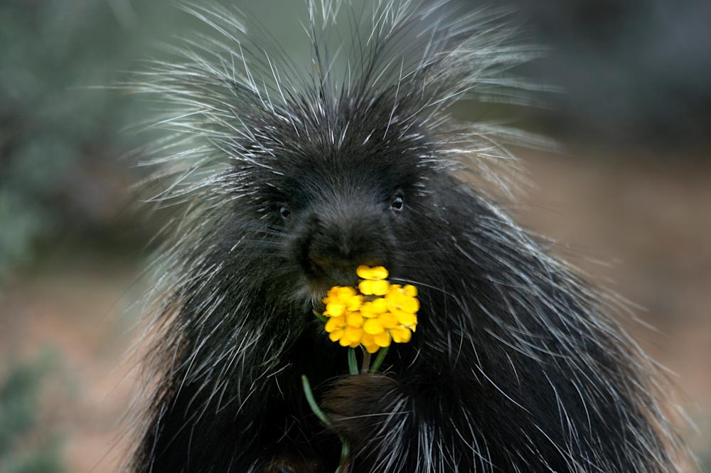 Porcupine Eating Flower