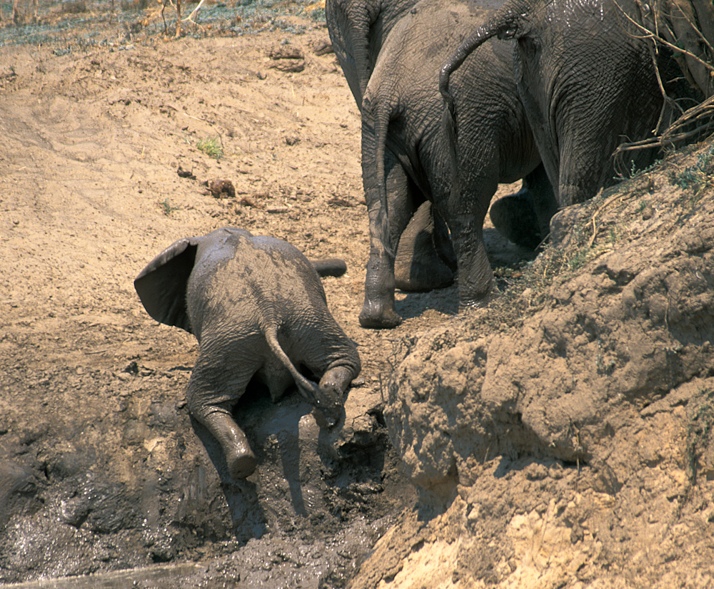 Uphill Struggle of a baby elephant from a mud bath to a slippery embankment, trumpeting in frustration