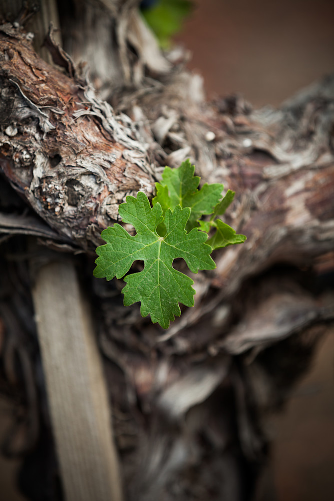 Young grape leaves on an old vine