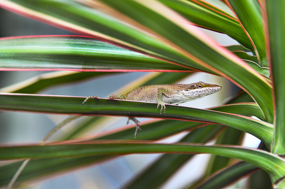 Brown Anoles 1