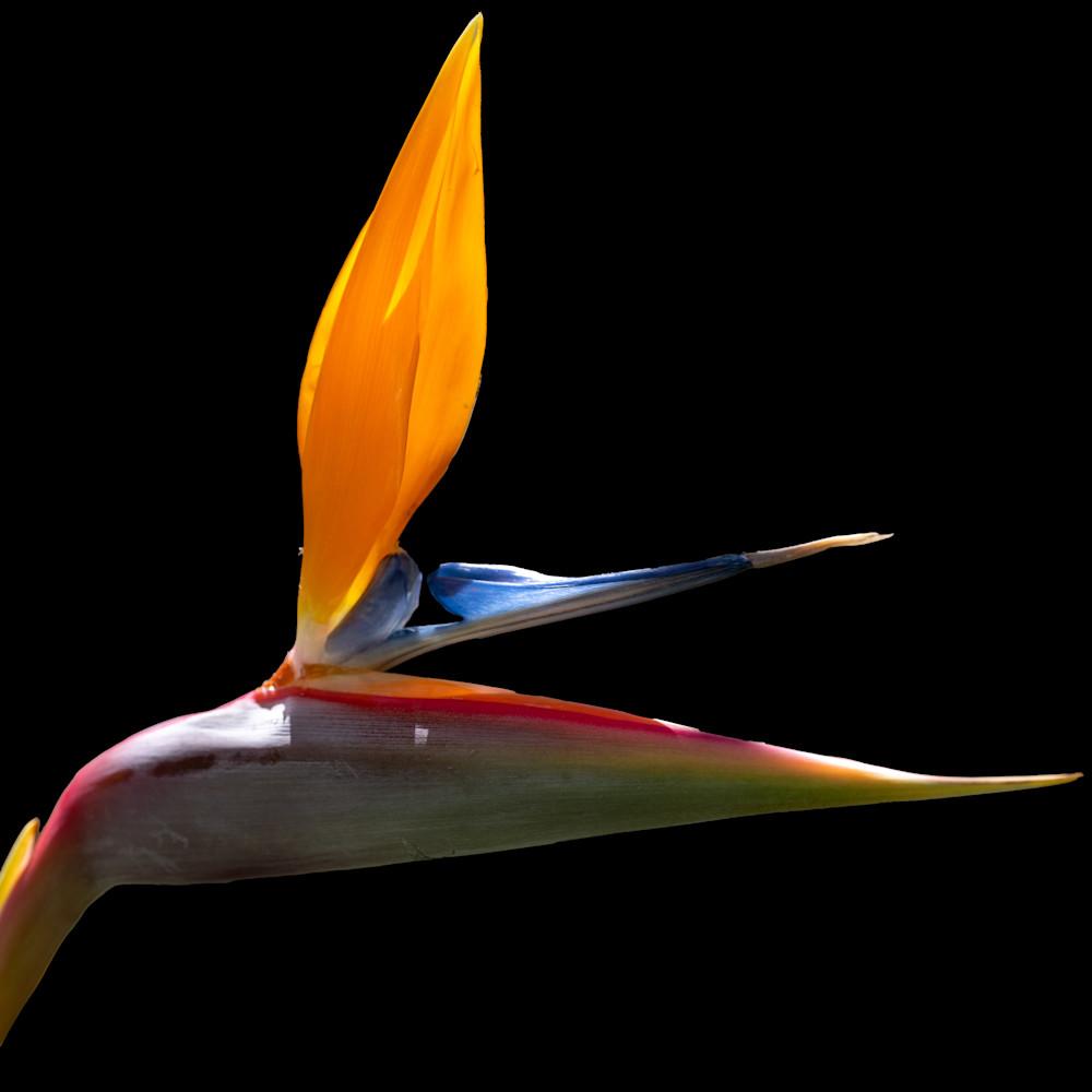 Bird Of Paradise 3 Photography Art | FocusPro Services, Inc.