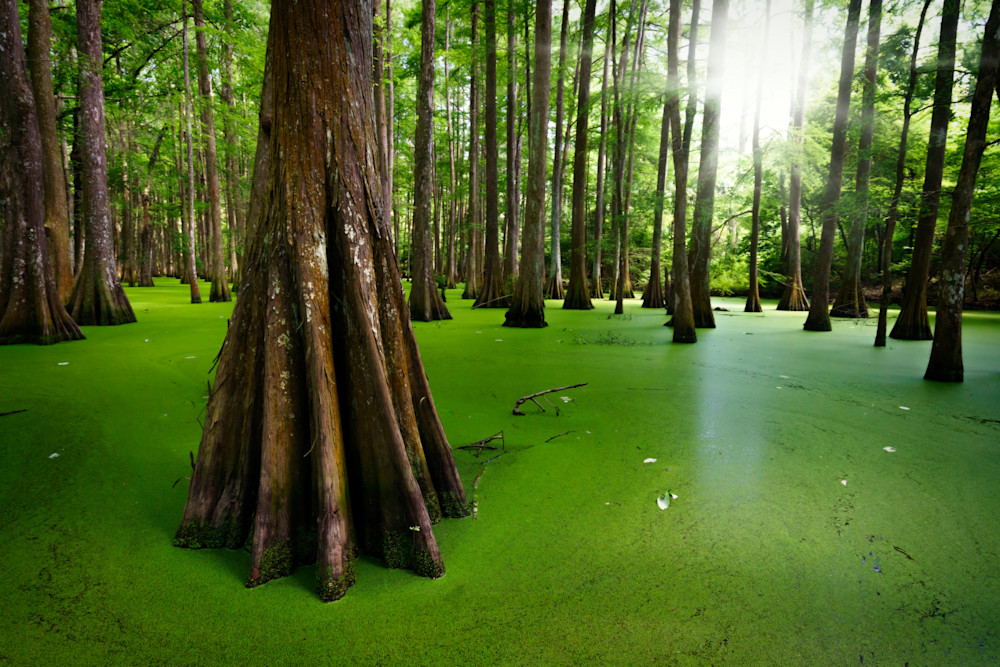 Cypresses on Chicot Lake   Shop Photography by Rick Berk