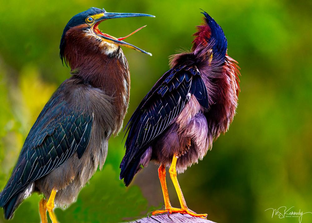 Two Green Herons. Art   Cutlass Bay Productions, LLC
