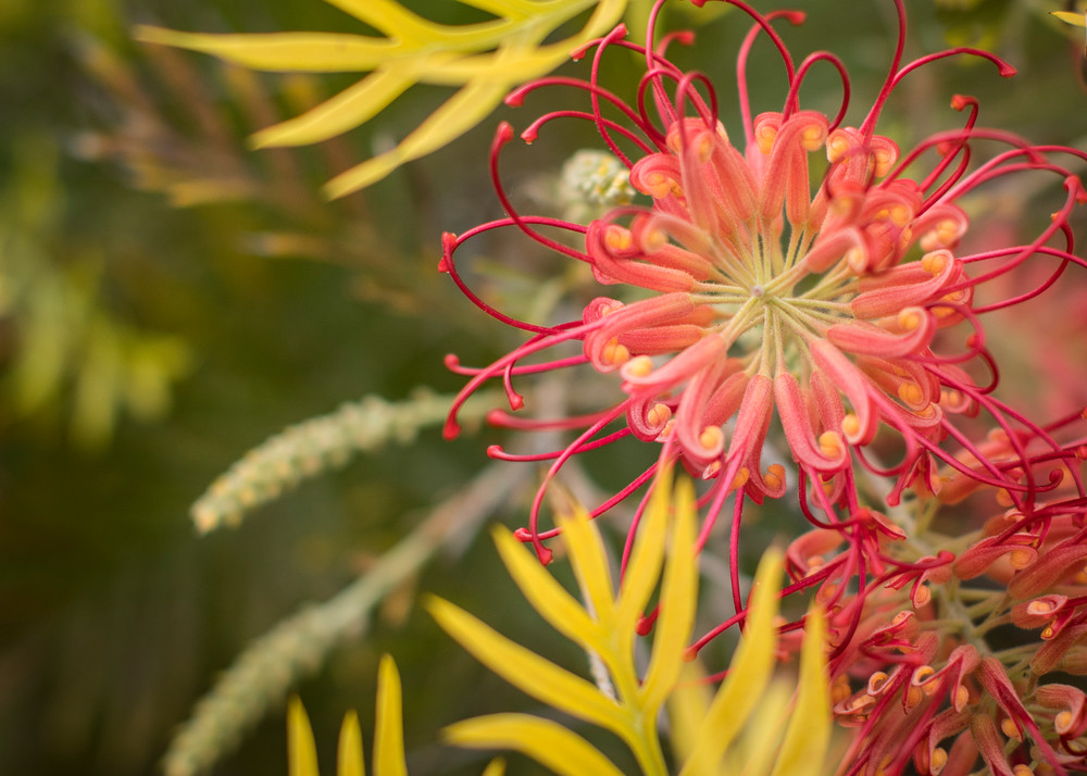 California Shrimp Plant Photography Art | TERESA BERG PHOTOGRAPHY