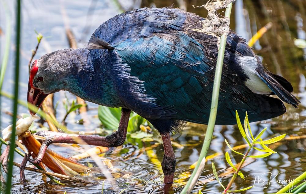 Purple Swamp Hen Art   Cutlass Bay Productions, LLC