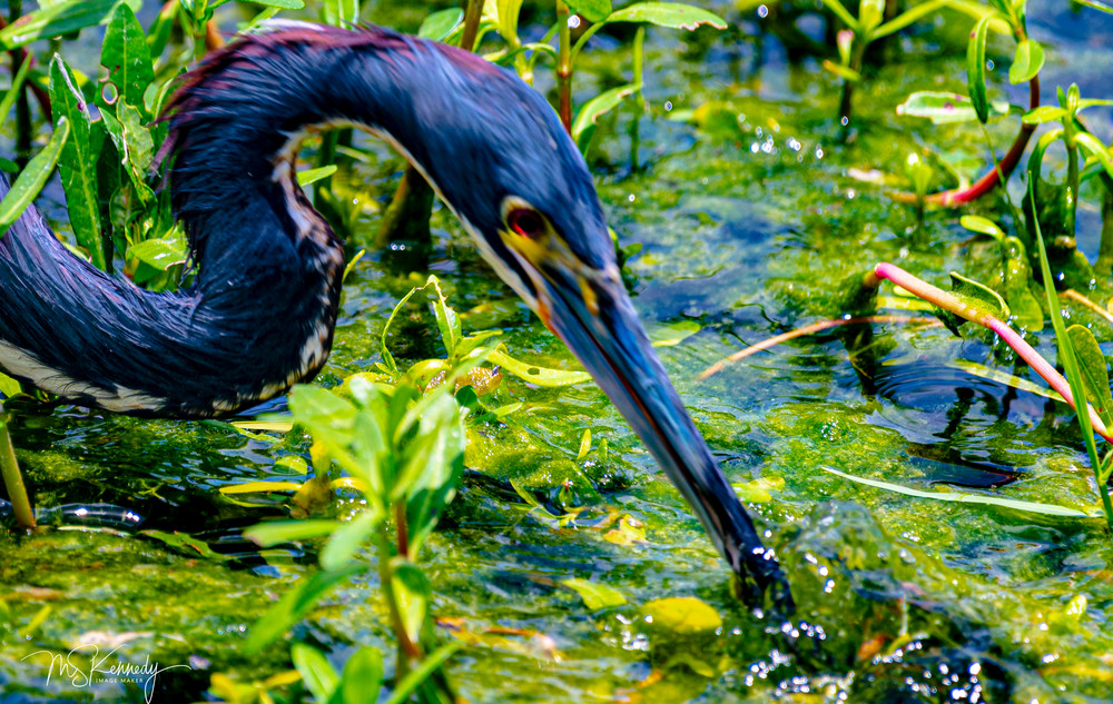 Feeding Heron Close Up Art | Cutlass Bay Productions, LLC