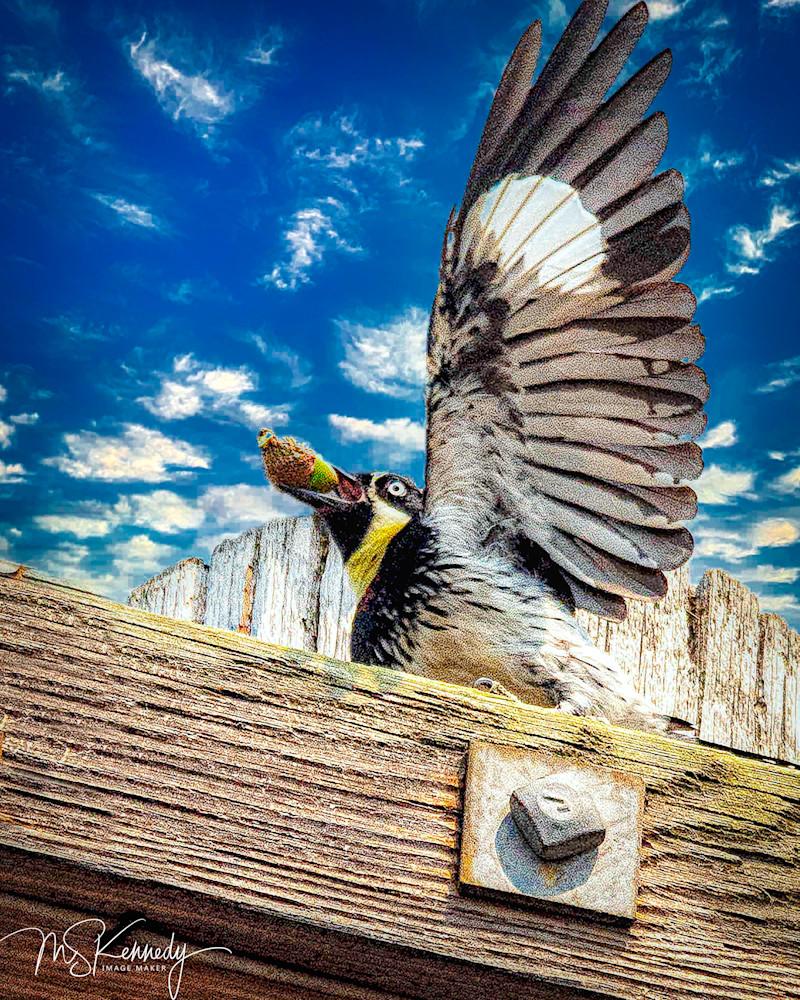Acorn Woodpecker Art   Cutlass Bay Productions, LLC