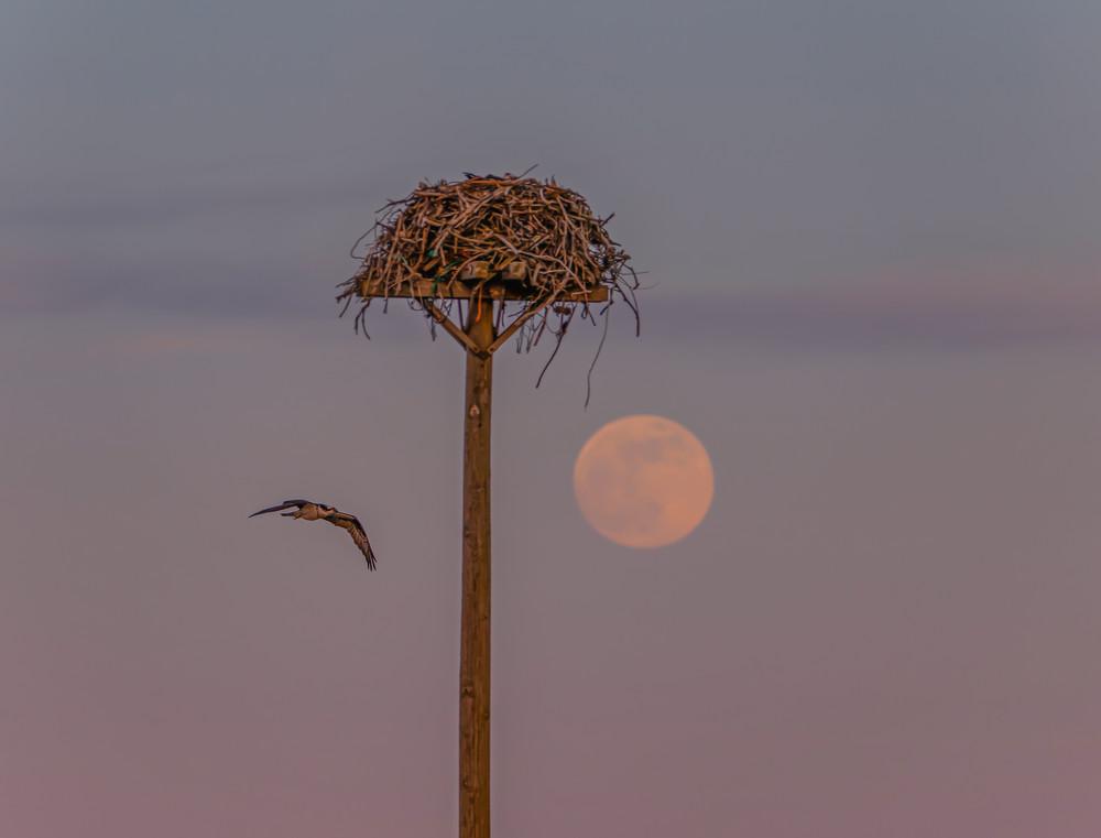 Oak Bluffs Osprey Flight Moon Art | Michael Blanchard Inspirational Photography - Crossroads Gallery