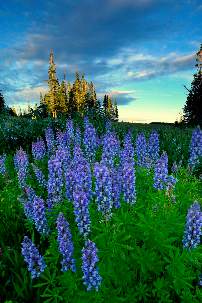 Lupine Afternoon  Photography Art   Craig Primas Photography