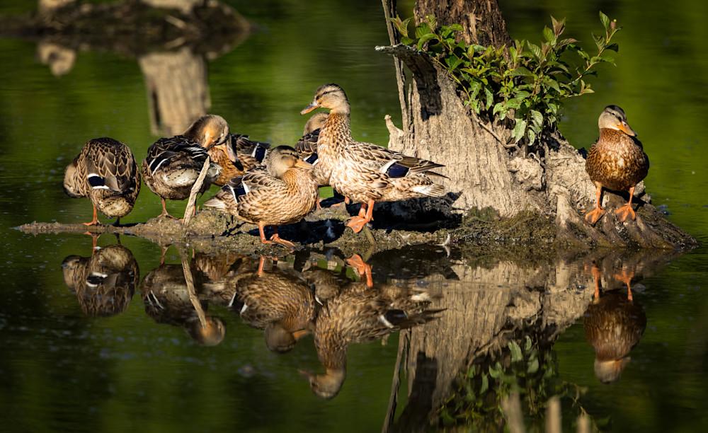 Mallard Family Reflection