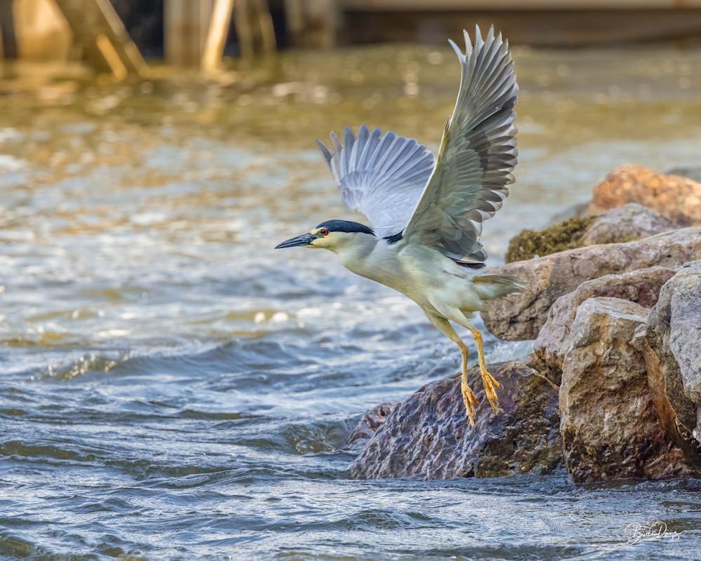 Black Crowned Night Heron Take-off
