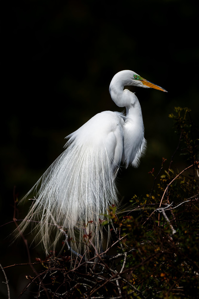 Great Egret Portrait 2