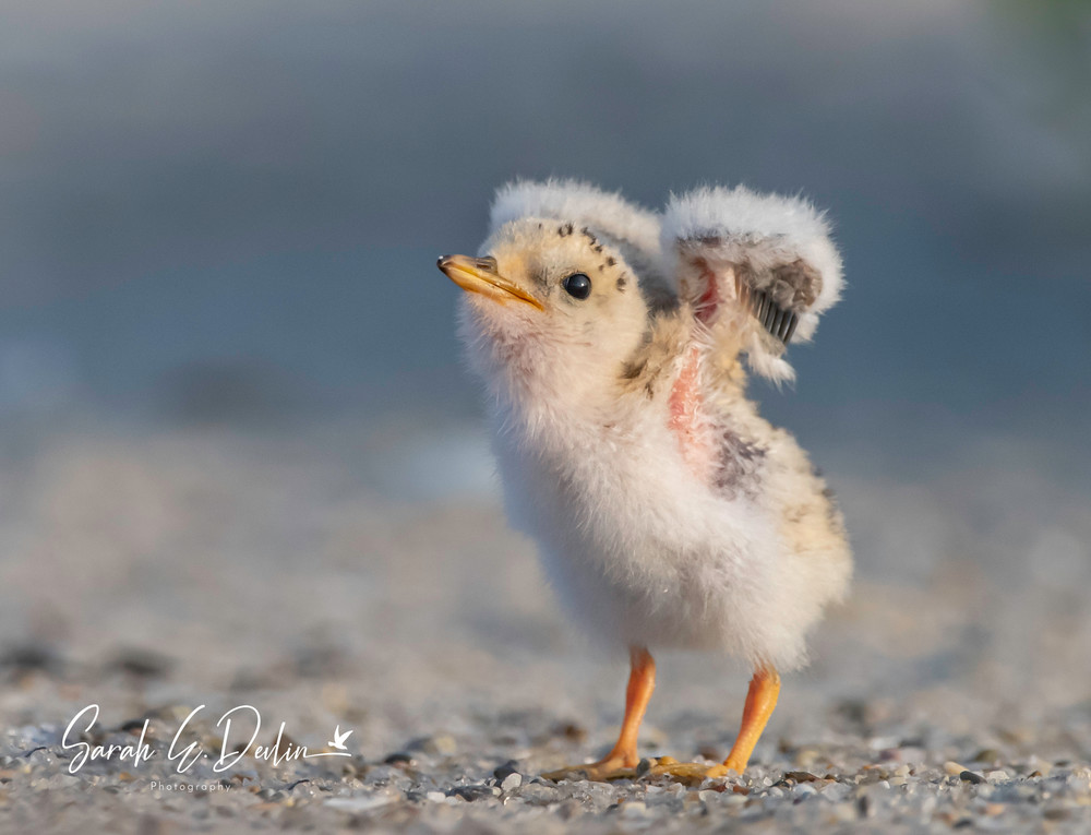Least Tern Chick Stretching Wings Signed Art | Sarah E. Devlin Photography