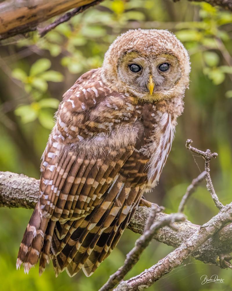 Barred Owl first Summer