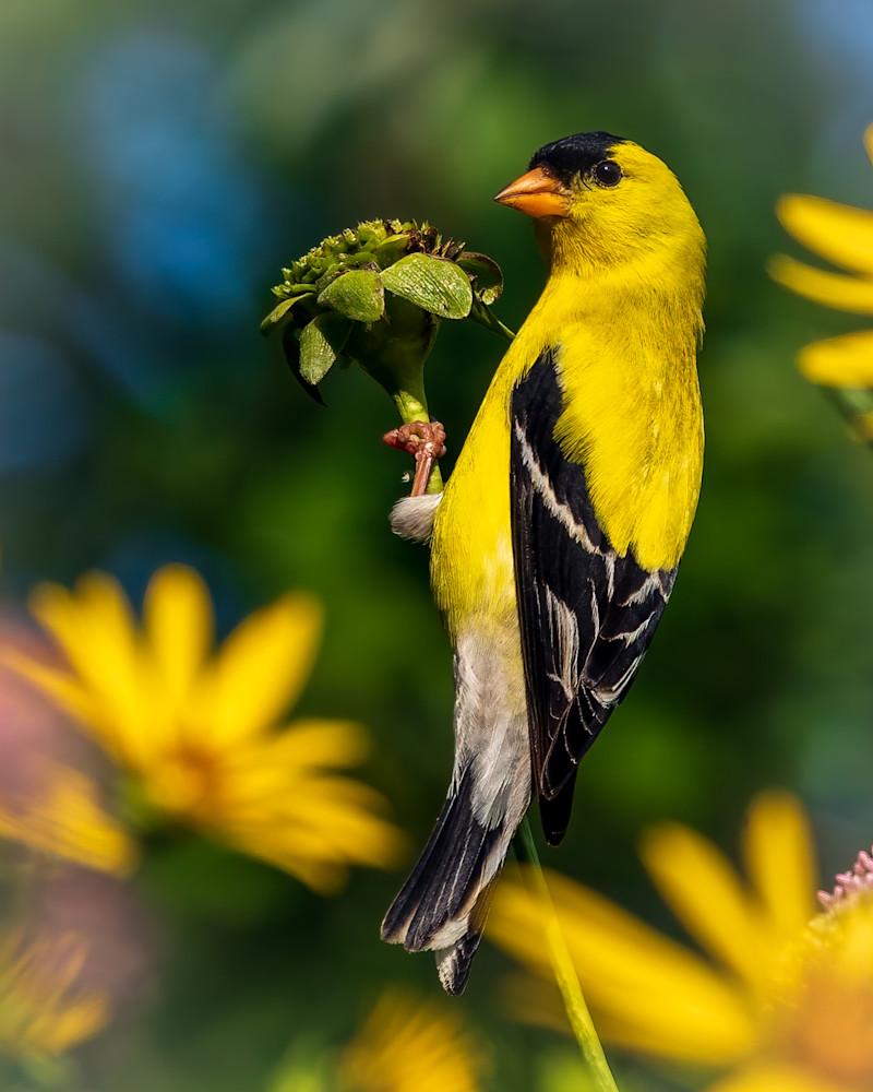 American  Goldfinch 4