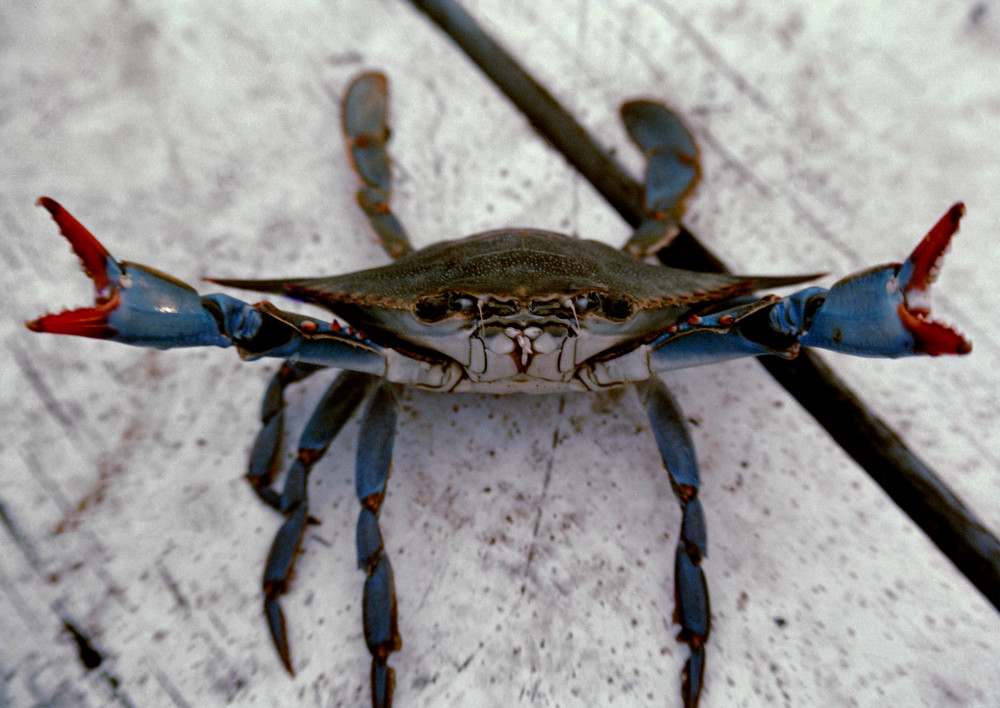 Live Texas Blue Crab on the dock