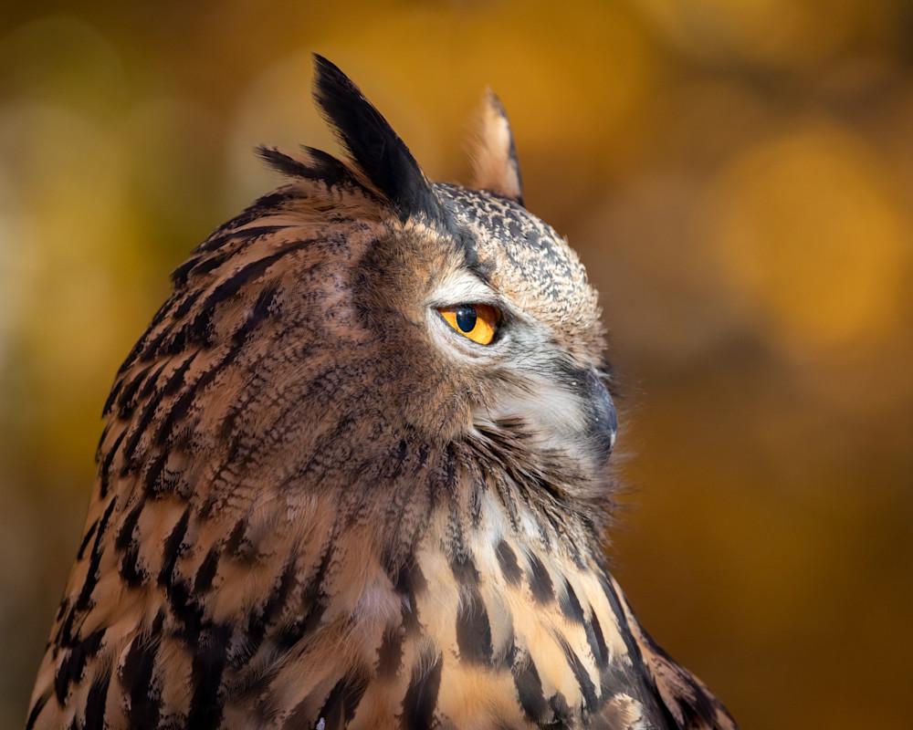 Great Horned Owl Side Portrait