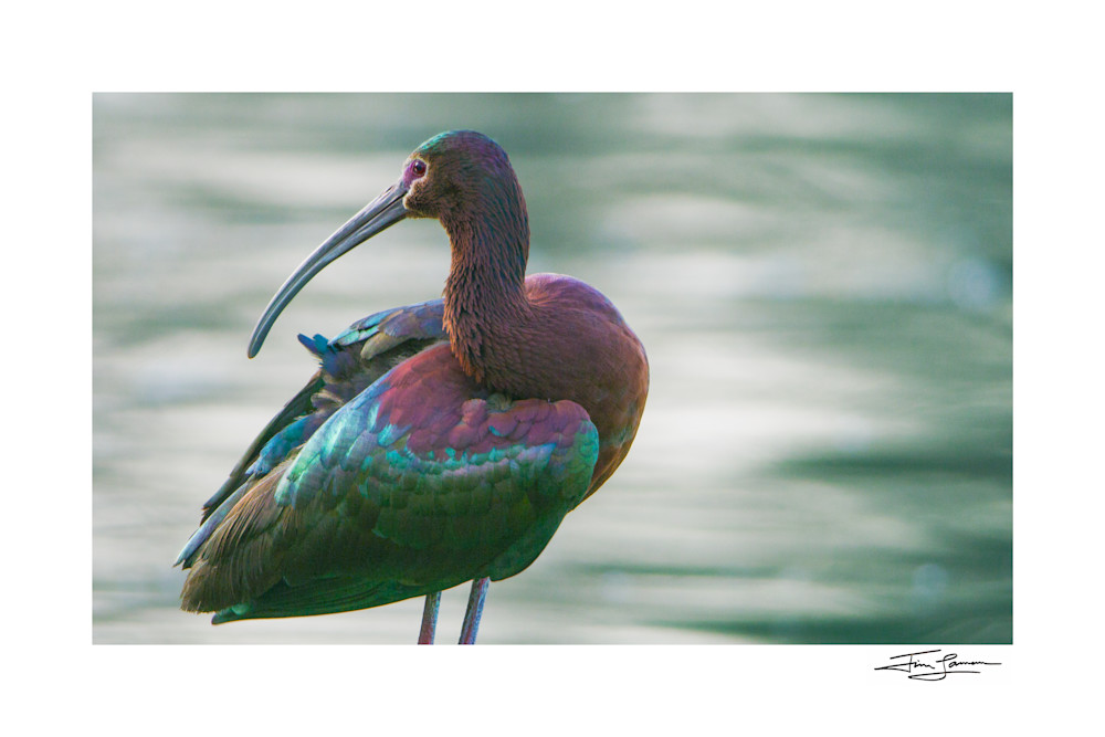 Portrait of a white-faced ibis available as art.