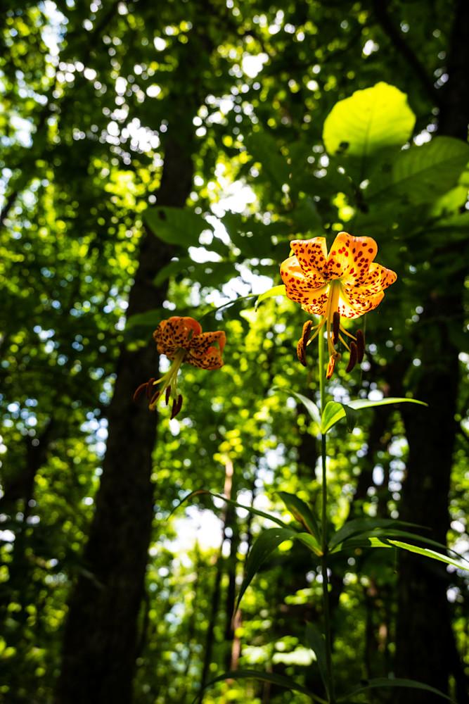 Turk's Cap Lily Photography Art | Blue Ridge Zen