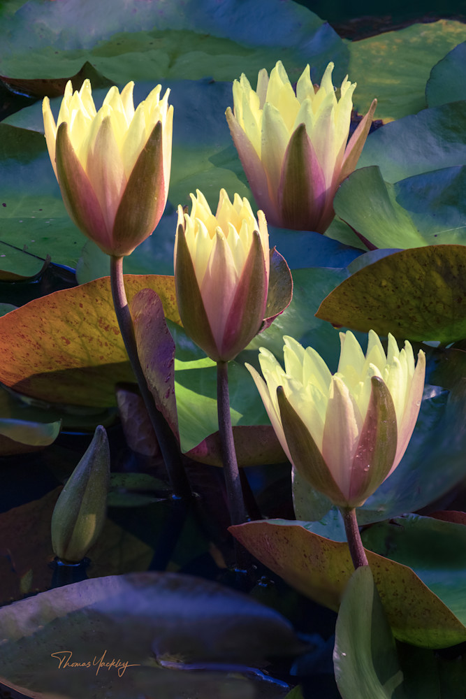 Colors Of Waterlilies Photography Art | Thomas Yackley Fine Art Photography