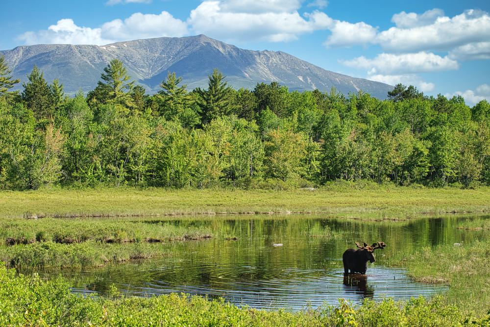 Mt Katahdin And Bull Moose Photography Art | http://www.mooseprintsgallery.com