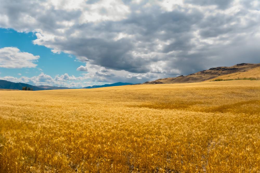 Fields Of Gold #2 Art | James Alfred Friesen