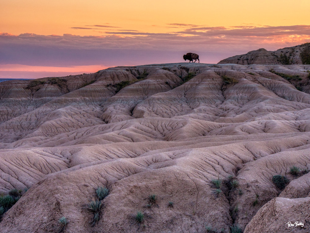 Bison In The Badlands At Sunset Photography Art | Peter Batty Photography