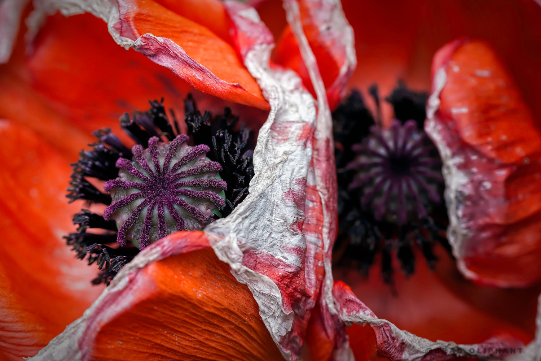 Poppy Flowers Pollen Red And Black Poppies Macro Blooms Flower Art