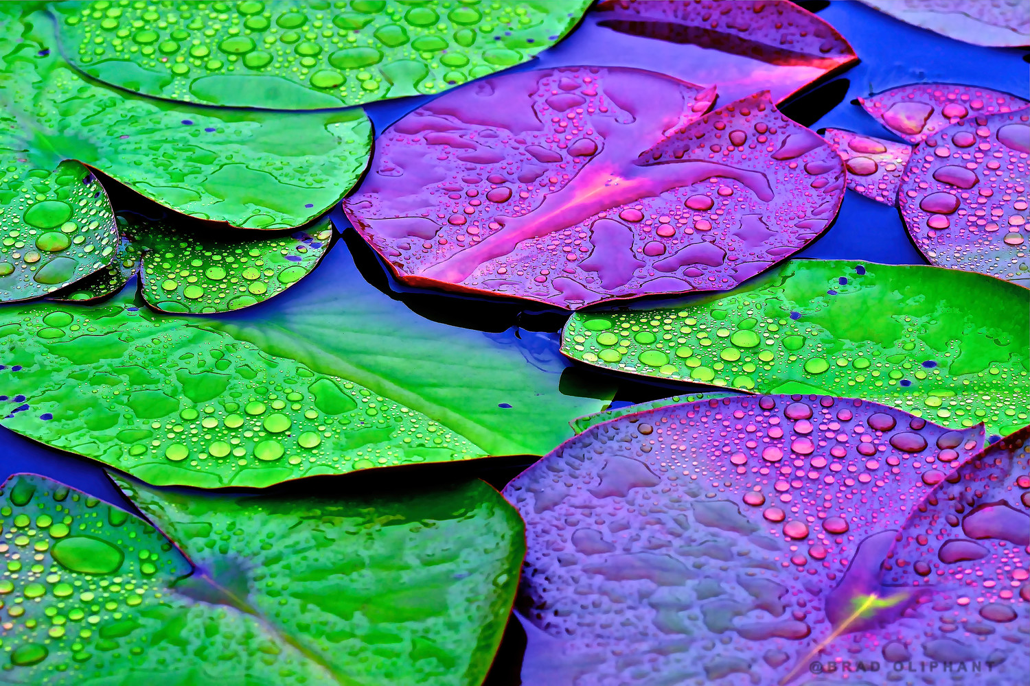 Lily Pads With Dew Art Photographs Of Lily Pads Lotus Flowers With Lily