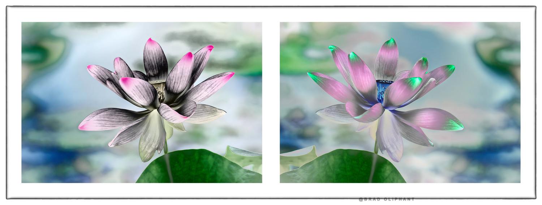 Lotus Flower Photography Art Photographs Of Lotus Flowers