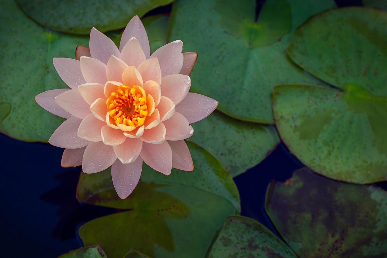 Lotus Flowers Art Photographs Of Lily Pads Botanical Art