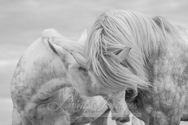 Two Camargue Stallions Together Photography Art | Living Images by Carol Walker, LLC