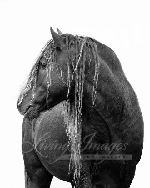 Wild Sable Island Stallion Turns To Look Art | Living Images by Carol Walker, LLC