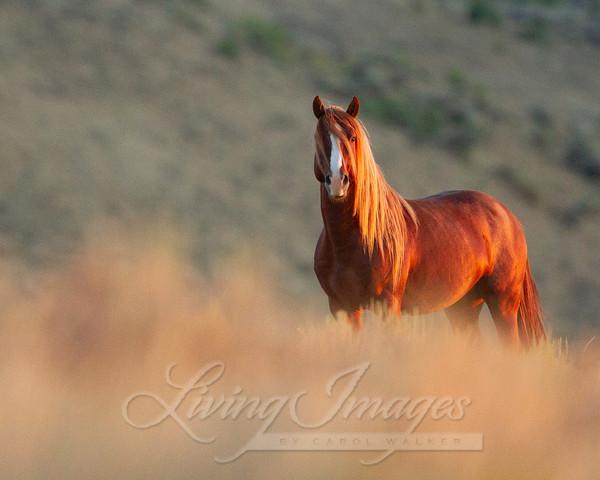 Sunrise Stallion Art   Living Images by Carol Walker, LLC