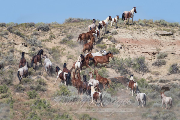 Wyoming Wild Horses Go Up The Hill Art   Living Images by Carol Walker, LLC