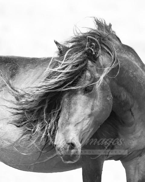 Sable Island Stallion Close Up Art | Living Images by Carol Walker, LLC