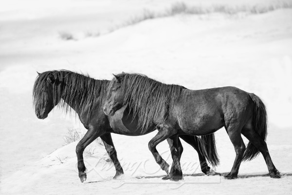 Two Sable Island Stallions Walk On The Beach Art | Living Images by Carol Walker, LLC
